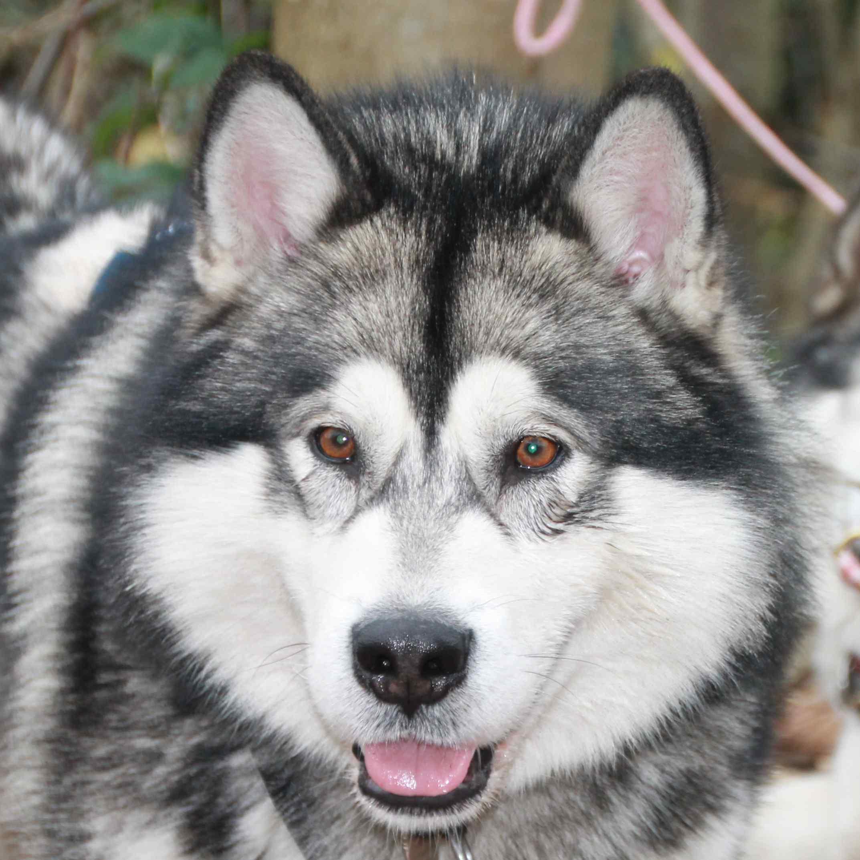 Kimbear´s Arctic Wolf